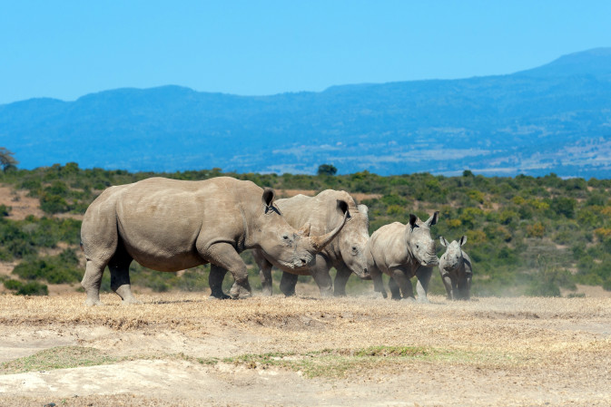 AFRICA african white rhino national park of kenya